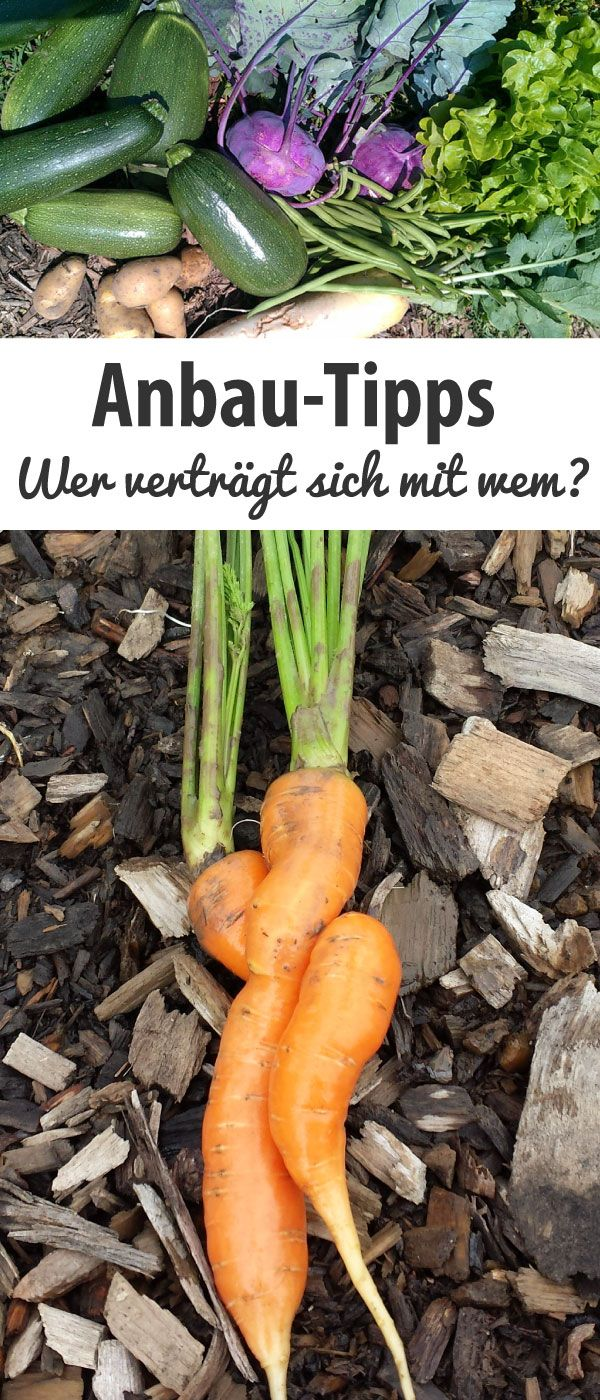 Anbau-Tipps – Wer verträgt sich mit wem? – grüneliebe.de – Sinan AKBAY