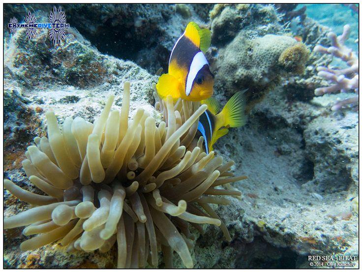 Подводная фотография - Дайвинг в Израиле - Красное море - Эйлат (13)