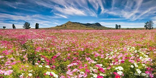Field of Cosmos - Eastern Free State, between Ficksburg and Fouriesburg,  by Robert Southey Photography