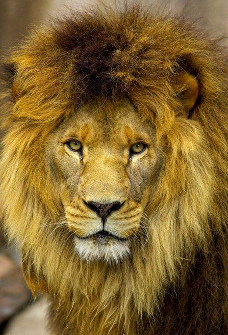 361 best images about Lion of the Tribe of Judah on ... Conquering Lion Of Judah