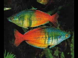 Fish - Native Australian Rainbow Fish