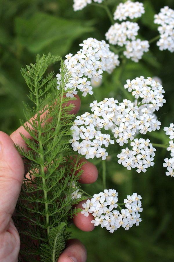 50 Ways To Use Yarrow In 2020 Yarrow Plant Identification Herbal Tinctures