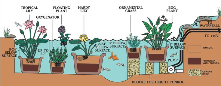 17 best images about pond and bog water plants on for Koi ponds for dummies