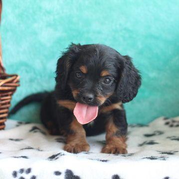 Cavapoo puppy for sale in GAP, PA. ADN-39532 on PuppyFinder.com Gender: Male. Age: 7 Weeks Old