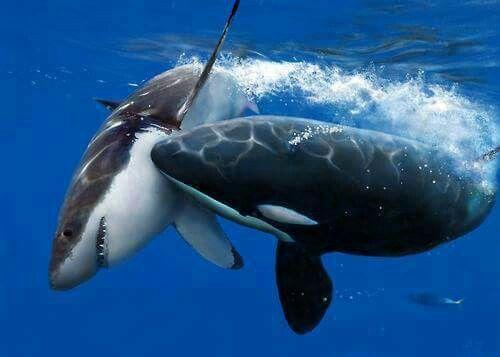 Cápa-orca összetüzés