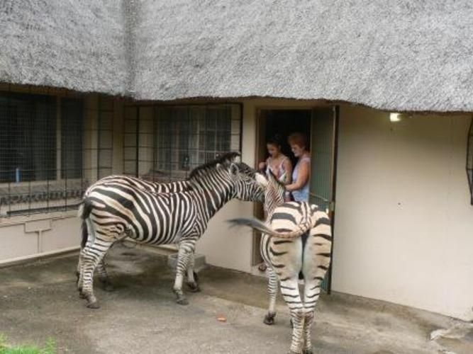 Kruger Cottage, Marloth Park. These zebra love visitors, especially those bearing gifts.