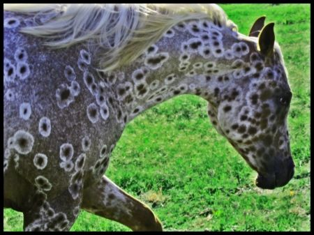 Little Red Baby Doll, Appaloosa Filly in Texas | Appaloosa Horses for Sale