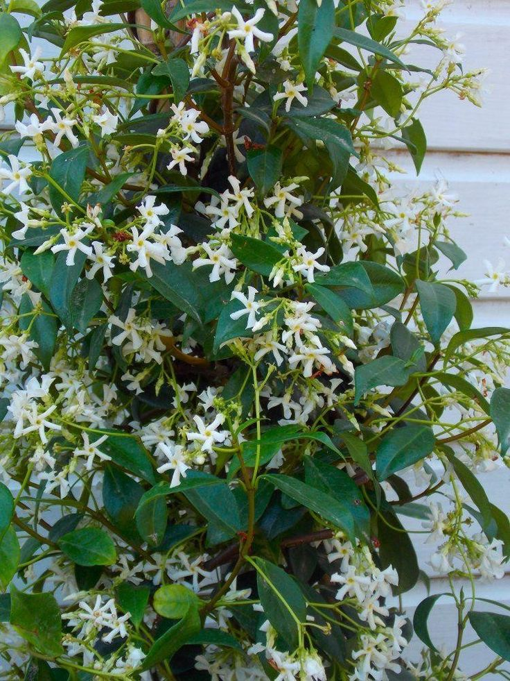 Large fragrant scented white flowered star Jasmin Imagine relaxing in your garden through summer, with a few drinks, perhaps on a sun lounger in the sunshine, as if taken to a distant shore, maybe with one or two of our large tropical looking palms dot