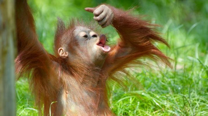 I besøger orangutanger i Sepilok Orangutang Rehabilitation Centre på Borneo