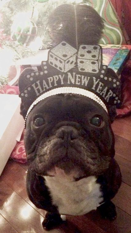 """Happy New Year!"", Stewie, the French Bulldog❤"