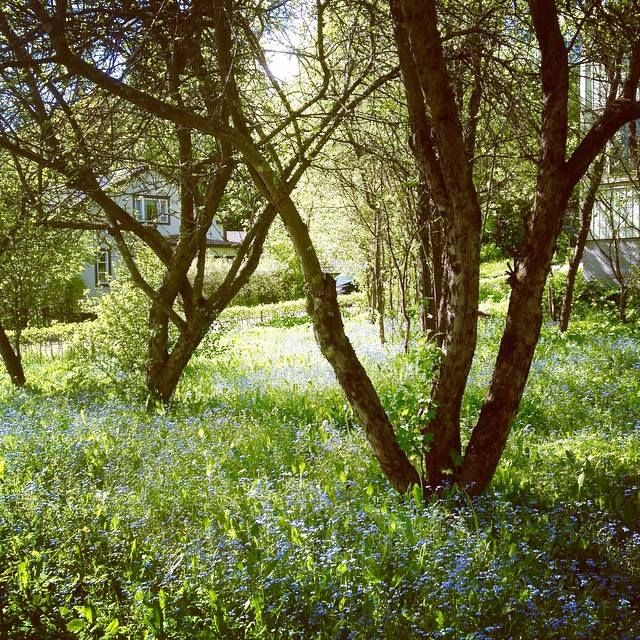 Spring. Forget-me-nots. Photo by me