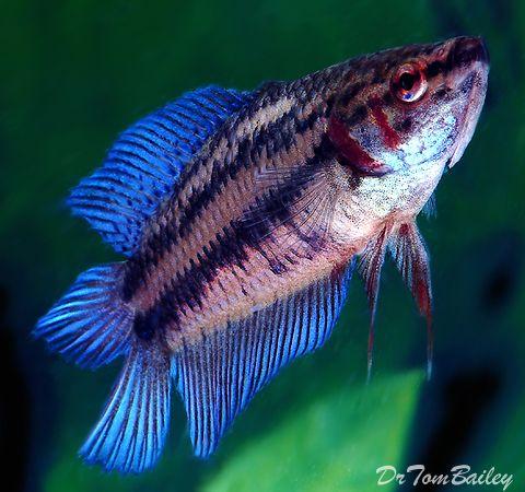 80 best images about tropical fish on pinterest aquarium for Betta fish diet