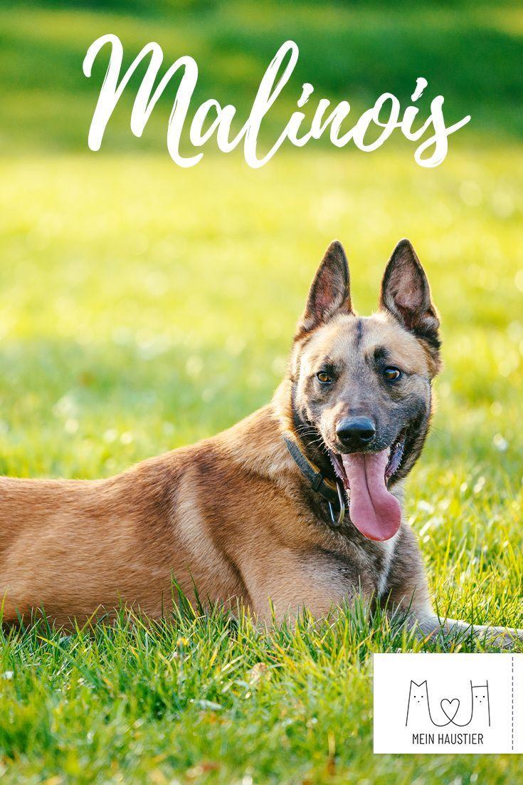 Der Malinois Ist Eine Kurzhaarige Varietat Des Belgischen Schaferhundes Im Steckbrief Bekommt Ihr Informationen Zur G Hunderassen Hunde Rassen Malinois Welpen