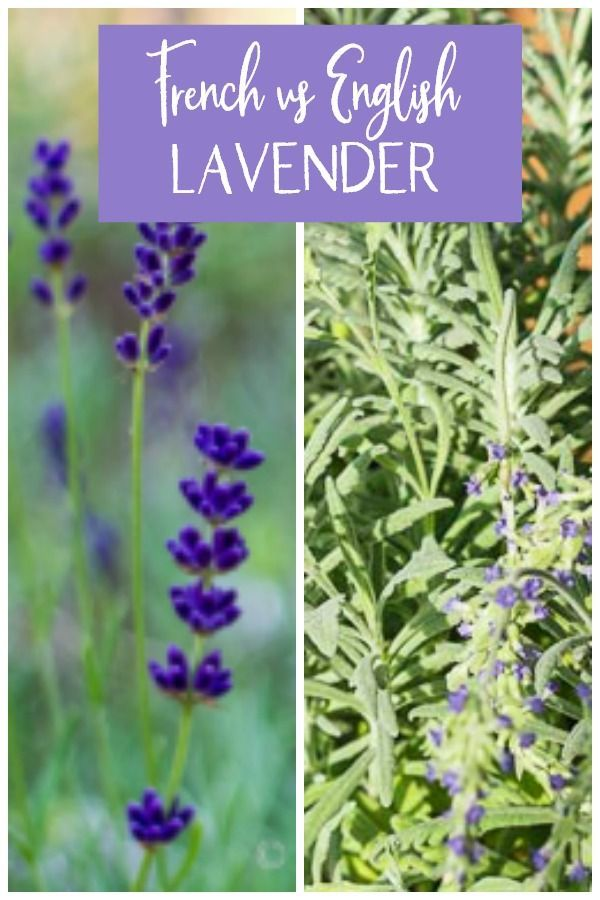 English Lavender Vs French Lavender Varieties And How To Grow Lavender Varieties Growing Lavender Lavender Plant