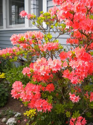 Coral Salmon Coloured Azaleas One Of These Too