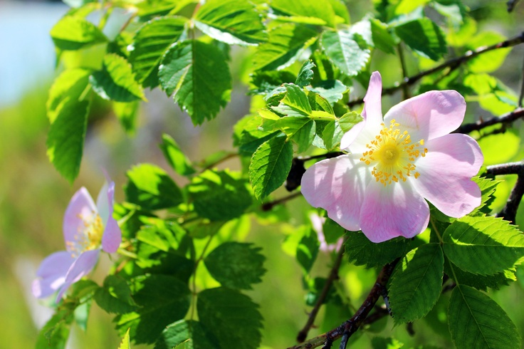 Wild roses in Finland