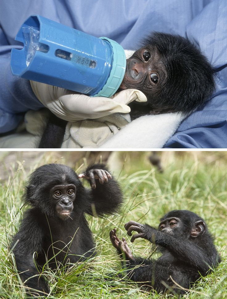 TIMES CHANGE Makasi (left) was raised in the Zoo nursery. Mali (right, with a friend) was raised in the bonobo bedrooms and introduced to other bonobos at a young age.