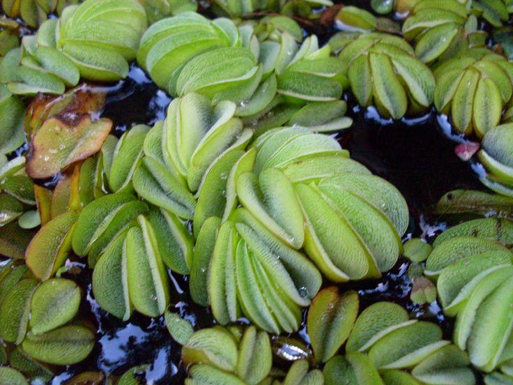 Peces tropicales de agua dulce.: Acuario y biodiversidad: plantas. Parte 2.