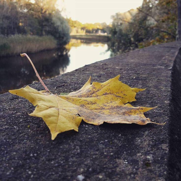 «#autumn #leaf #nature #october #octoberrust #осень #лист #листья #октябрь #природа #кленовыйлист #leaves #pirita #пирита»