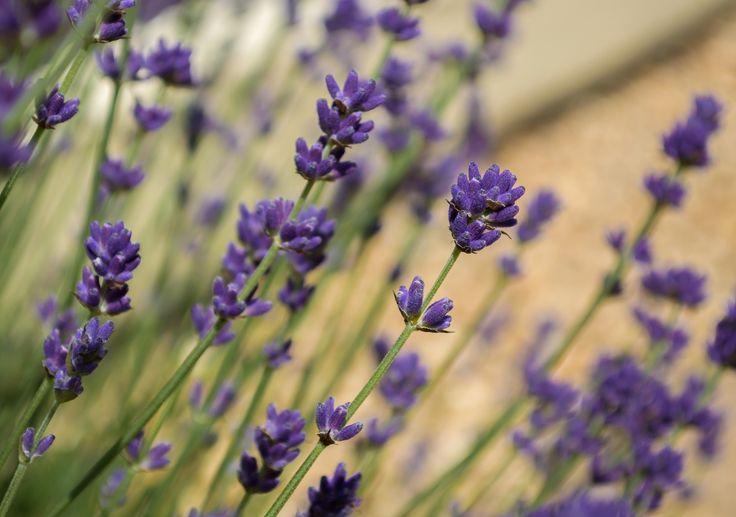 Lavender by Misha Middlecott