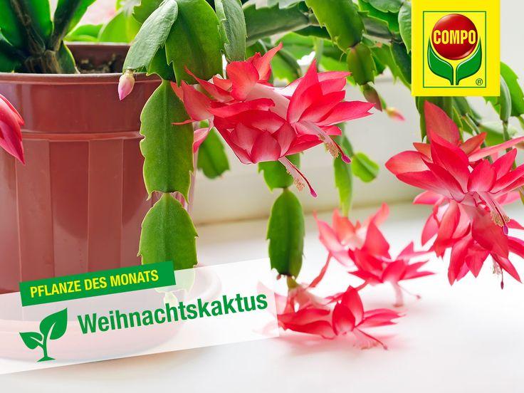 tolles der weihnachtskaktus bringt mehr farbe ins haus wahrend der kaltesten jahreszeit inspirierende abbild oder faffaeafbd christmas cactus care houseplants