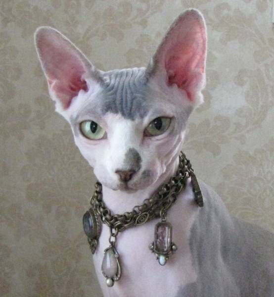 #sphynx I don't kno y but I like these cats and I am not a cat person.