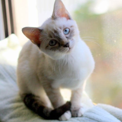 54 best images about siamese siamese on pinterest daisy for Siamese 9 electric motor