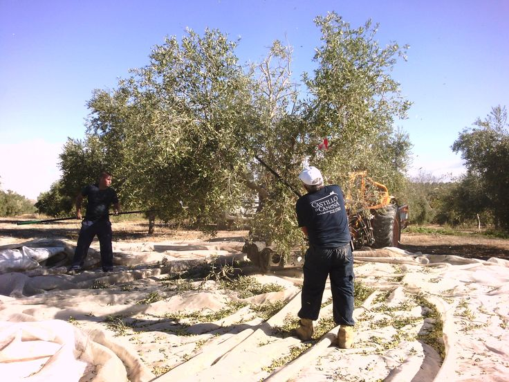 We're in the middle of the harvest!! We want to show you how elaboration process of our EVOO is going. #10FirstDayHarvest