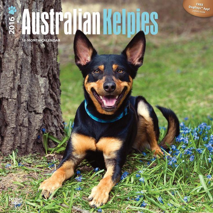 Australian Kelpie Calendar 2016