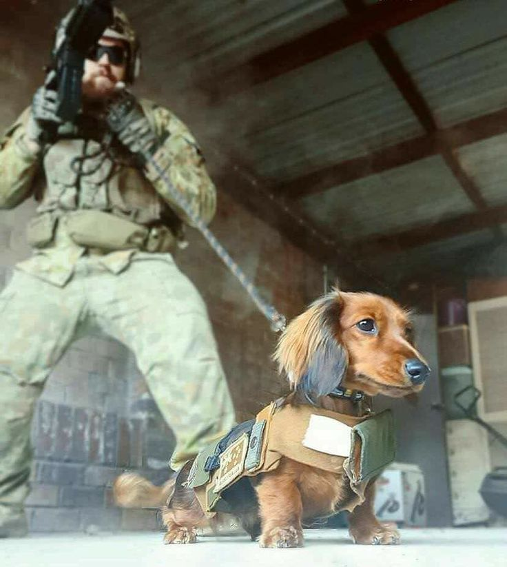 yes...of course...military dachshunds...should have known that...