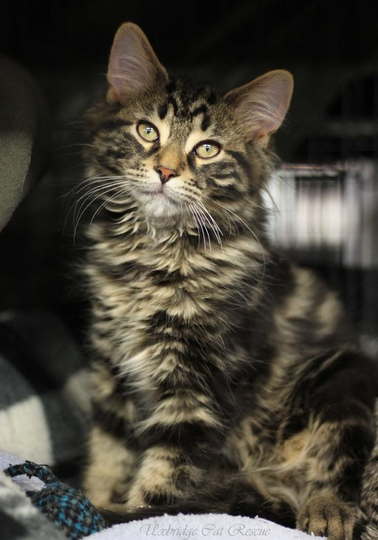 Tiny is an adoptable Domestic Medium Hair searching for a forever family near Uxbridge, ON. Use Petfinder to find adoptable pets in your area.