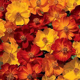 Cosmos Bright Lights Mix - Annual  Flowers   COSMOS (COSMOS BIPINNATUS)