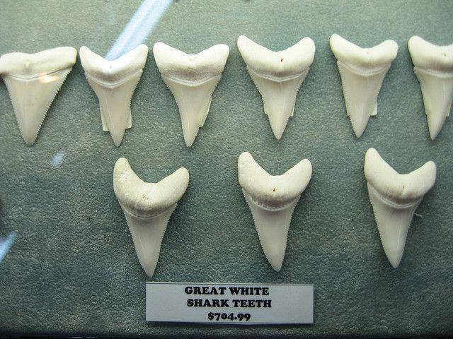finding shark teeth in hawaii