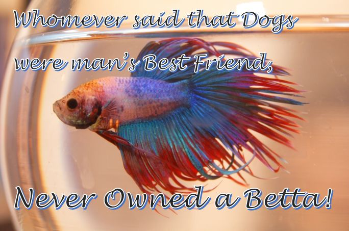 17 best images about funny betta pictures on pinterest for Betta fish friends