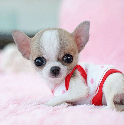 Chinchilla Dog Breed