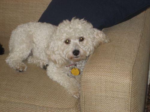 25 Best Miniature Poodles Images On Pinterest  Poodles -3591