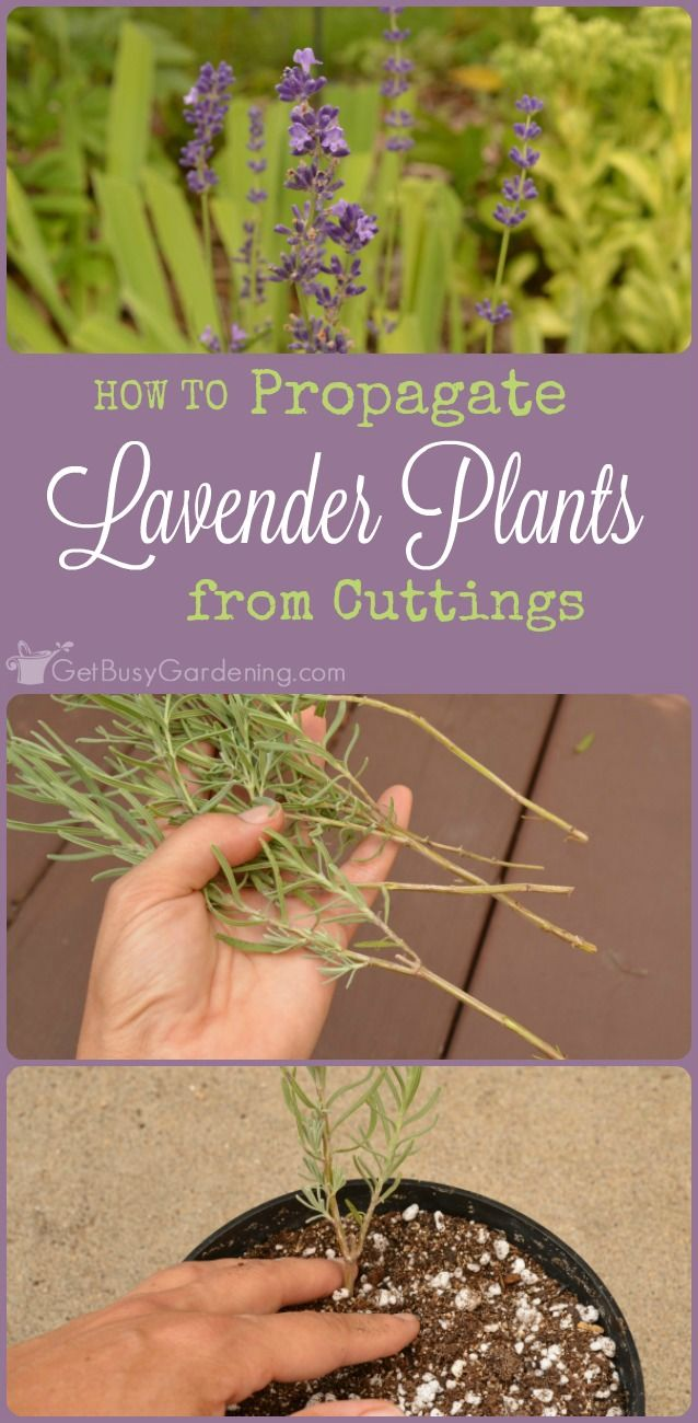 Propagating lavender is easy. Plus, once you learn how to propagate lavender…