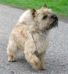 Cairn Terrier Vous avez vu comme je suis beau?