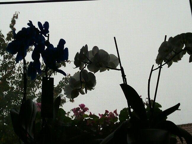 Blauwe  en eigen kweek orchidee