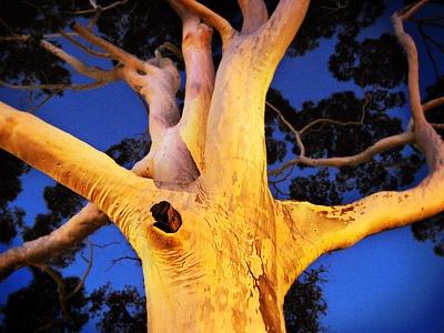 Spooky Gum Tree in Leederville by Karen Cheng, via Flickr