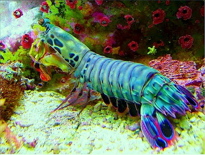 Peacock Mantis Shrimp (Odontodactylus scyllarus)... Coolest shrimp ever thought someone I use to know would love this.