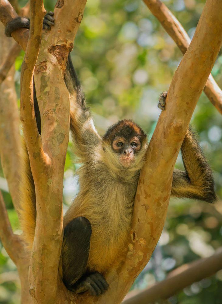 Mono araña: el mono sin pulgar