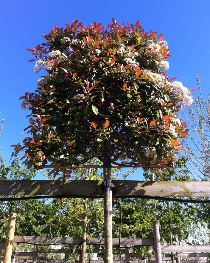 photinia 39 red robin 39 pleached half standard tree trees. Black Bedroom Furniture Sets. Home Design Ideas