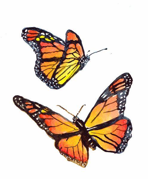 Ilustración en acuarela, Mariposas chilenas