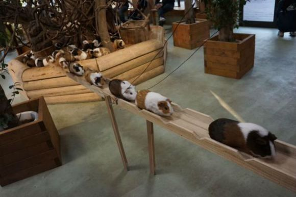 Every day these super cute guinea pigs commute on this tiny wooden boardwalk. Every day.