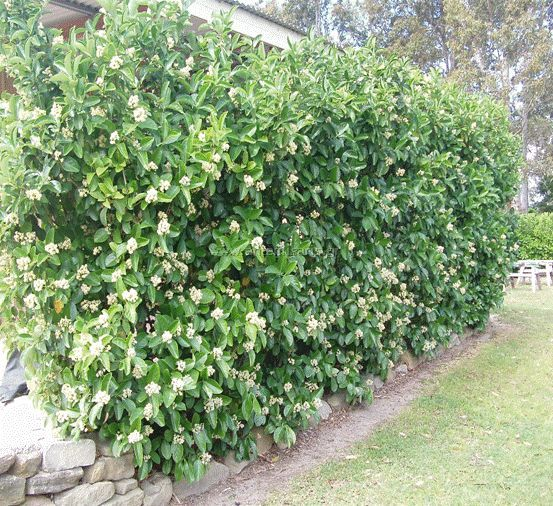Viburnum odoratissimum. This hedge is evergreen and will flower from Oct to Apr.