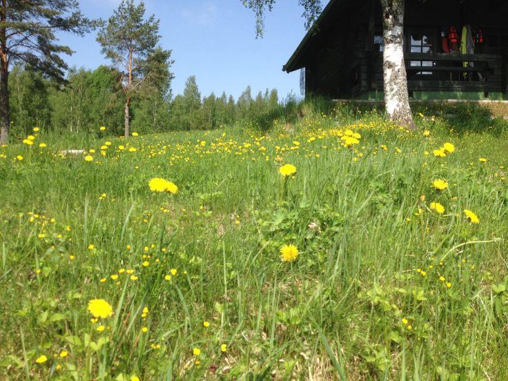 Voikukat,Spring, copywright May56