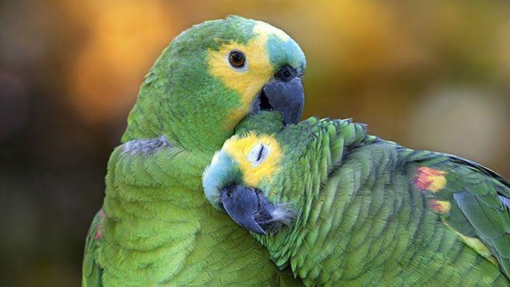 Os Papagaios Mais Engraçados do Mundo 03