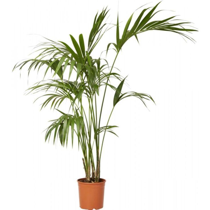 En skulptural, robust palme med finnete gressgrønne blader som stadig vokser seg større på slanke bladspisser. ...