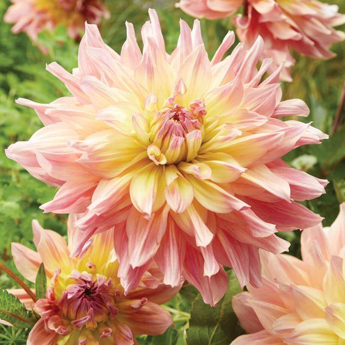 Pasodoble Dancer Dahlia Flowers And Bulbs Veseys Dahlia Indoor Flowers Pasodoble